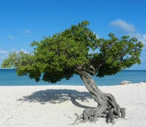 árvore típica de Aruba, Divi-divi