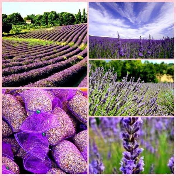 melhor época para ver os campos de lavanda na Provence