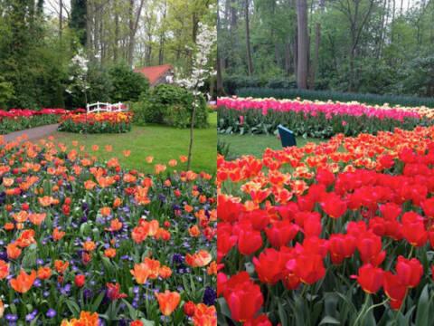 É grande a variedade de flores no Keukenhof