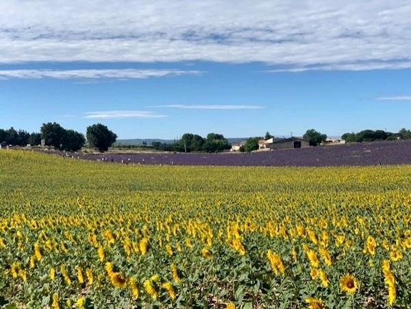Campo de girassóis em Provence/França
